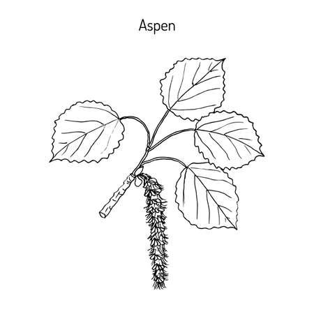 Aspen (Populus tremula), or common aspen, Eurasian aspen, European aspen, quaking aspen. Hand drawn botanical vector illustration