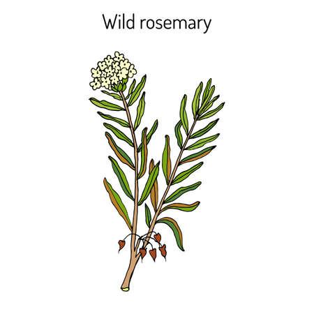 palustre: Wild Rosemary (Rhododendron tomentosum), or Marsh Labrador tea, northern Labrador tea. Illustration
