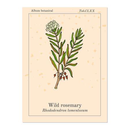 palustre: Wild Rosemary (Rhododendron tomentosum), or Marsh Labrador tea, northern Labrador tea. Hand drawn vector illustration