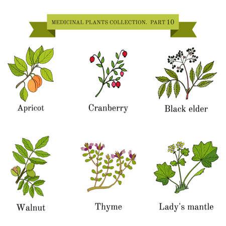 mantel: Vintage collection of hand drawn medical herbs and plants, apricot, cranberry, black elder, walnut, thyme, ladys mantel. Botanical vector illustration
