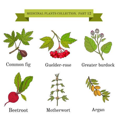 Vintage collectie van hand getrokken medische kruiden en planten, gemeenschappelijke vijg, guelder-rose, grotere klis, rode biet, motherwort, argan. Botanische vectorillustratie