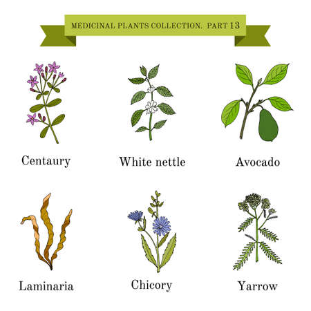 yarrow: Vintage collection of hand drawn medical herbs and plants, centaury, white nettle, avocado, laminaria, chicory, yarrow. Botanical vector illustration