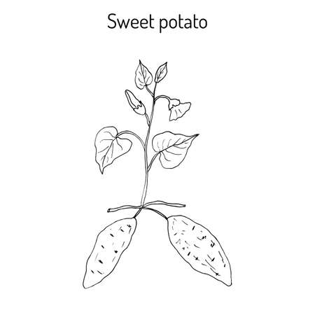 horticultural: Sweet Potato (ipomoea batatas). Hand drawn botanical vector illustration