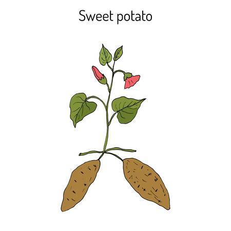 Sweet Potato (ipomoea batatas). Hand drawn botanical vector illustration