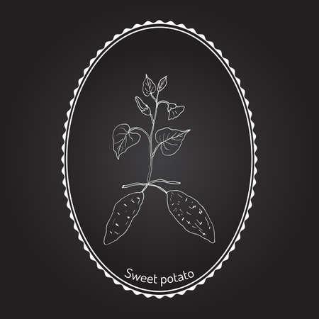 ipomoea: Sweet Potato (ipomoea batatas). Hand drawn botanical vector illustration