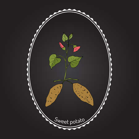 Sweet Potato (ipomoea batatas). Hand drawn botanical vector illustration