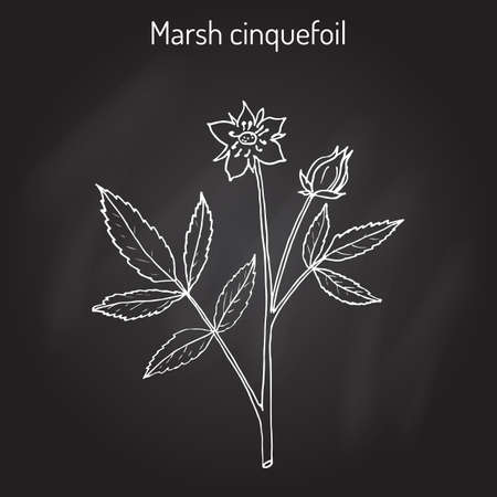Purple Marshlocks (comarum palustre), or swamp cinquefoil, marsh cinquefoil. Medicinal plant, hand drawn vector botanical illustration