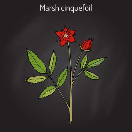 palustre: Purple Marshlocks (comarum palustre), or swamp cinquefoil, marsh cinquefoil. Medicinal plant, hand drawn vector botanical illustration