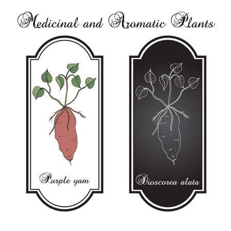 Purple yam (Dioscorea alata), a tuberous root vegetable. Hand drawn botanical vector illustration Illustration