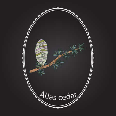 Branch of a Atlas Cedar (Cedrus atlantica). Hand drawn botanical vector illustration Illustration