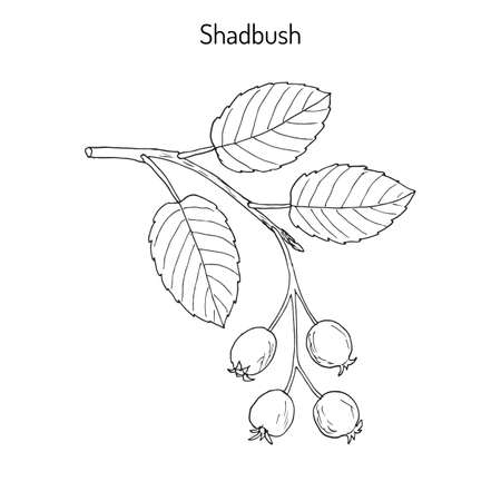 Amelanchier, 또한 shadbush, shadwood 또는 shadblow로 알려진 일러스트