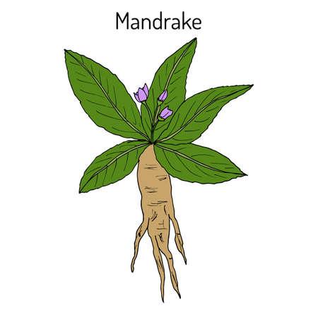 Mandrake root or Mandragora officinarum