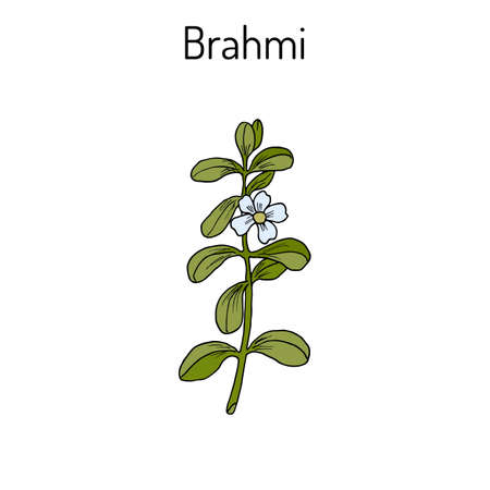 Brahmi Bacopa monnieri or waterhyssop