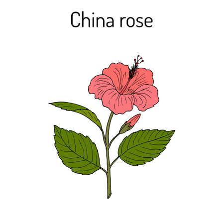 China rose Hibiscus rosa-sinensis , or shoeblackplant - flowering plant