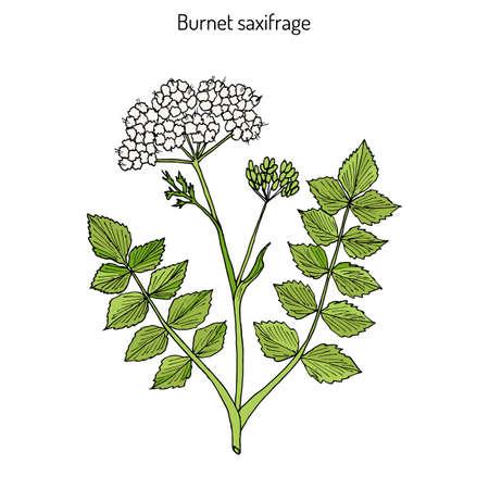 officinalis: Solidstem burnet saxifrage (Pimpinella saxifraga) - medicinal plant