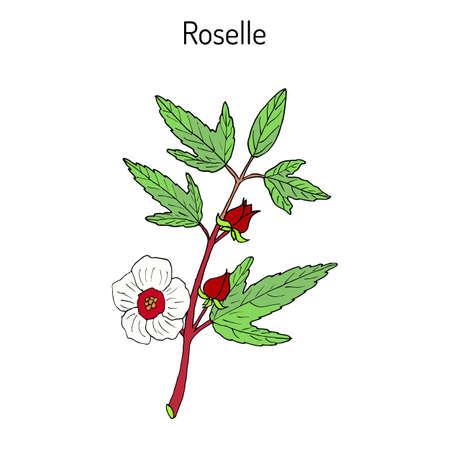 Roselle (Hibiscus sabdariffa), or carcade