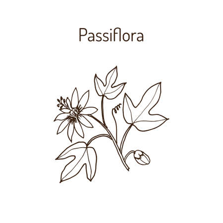 passiflora: Passiflora, or passion flowers