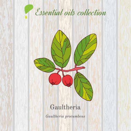 Gaultheria, essential oil label, aromatic plant. Vector illustration Illustration