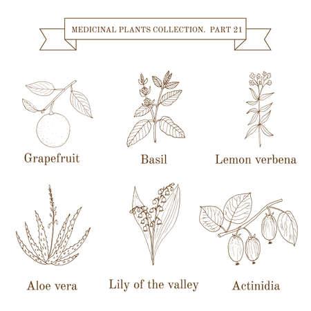 collezione Vintage di erbe e piante medicinali disegnati a mano