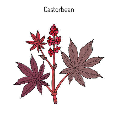horticultural: Castorbean, or Castor-oil-plant (Ricinus communis), medicinal plant
