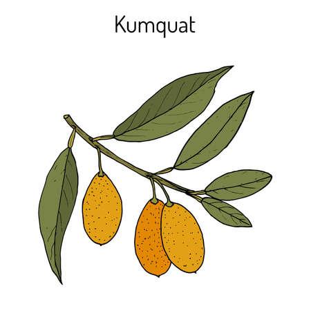 Kumquat (citrus japonica) branch
