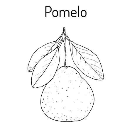 Pomelo (Citrus maxima), o pamplemousse, jabong, shaddock - cítricos