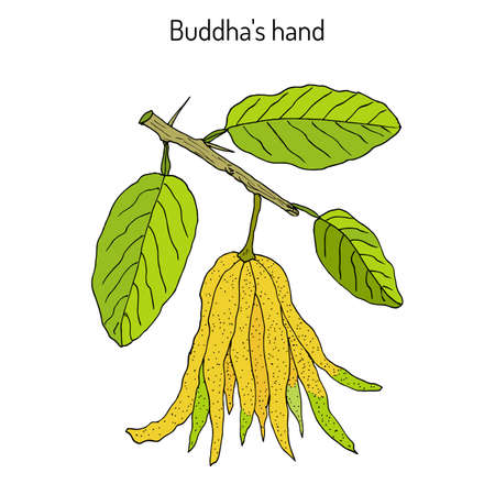 Fingered citron , (Citrus medica), or Buddhas hand - exotic fruit