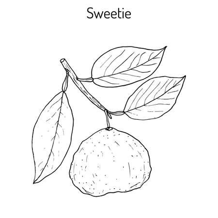 sweetie: Sweetie (citrus oroblanco) fruit Illustration