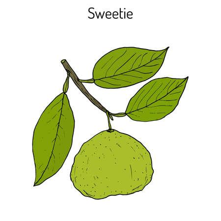 Sweetie (citrus oroblanco) fruit Illustration