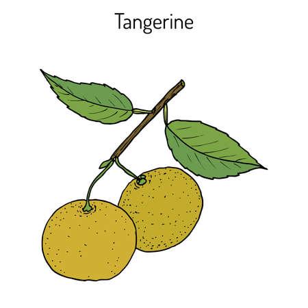 Frutta di mandarino Citrus tangerina, varietà di mandarino