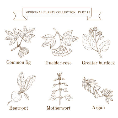 guelder rose: Vintage collection of hand drawn medical herbs and plants, common fig, guelder-rose, greater burdock, beetroot, motherwort, argan