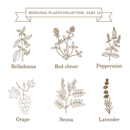 Vintage collection of hand drawn medical herbs and plants, belladonna, red clover, peppermint, grape, senna, lavender
