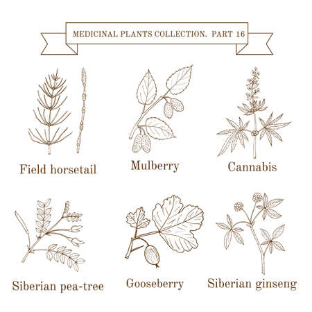 Vintage collection of hand drawn medical herbs and plants, field horsetail, mulberry, cannabis, siberian pea-tree, gooseberry, siberian ginseng