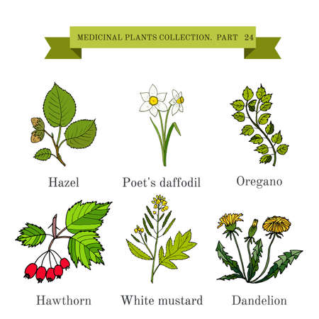 Vintage collection of hand drawn medical herbs and plants, hazel, poet s daffodil, oregano, hawthorn, white mustard, dandelion