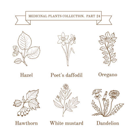 poet: Vintage collection of hand drawn medical herbs and plants, hazel, poet s daffodil, oregano, hawthorn, white mustard, dandelion