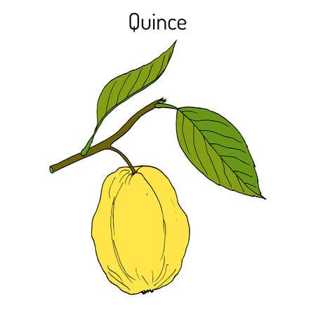 Quince Cydonia oblonga fruit tree branch