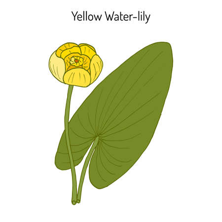 Yellow water-lily, or brandy-bottle Nuphar Lutea , aquatic plant