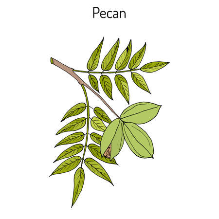 Pecan Carya illinoinensis nuts with leaves
