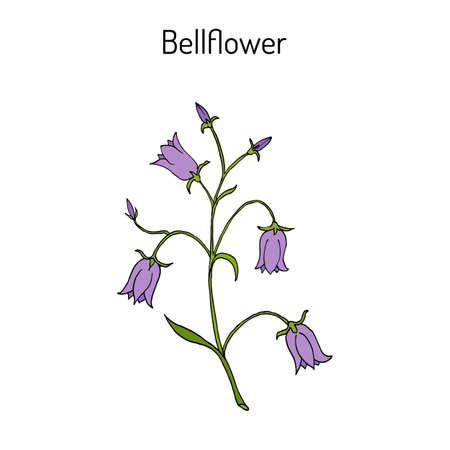 Peach-leaved bellflower Campanula persicifolia , flowering plant