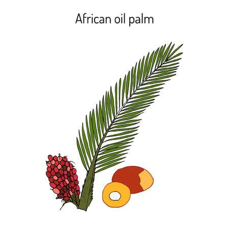 albero nocciolo: African oil palm Elaeis guineensis , or macaw-fat
