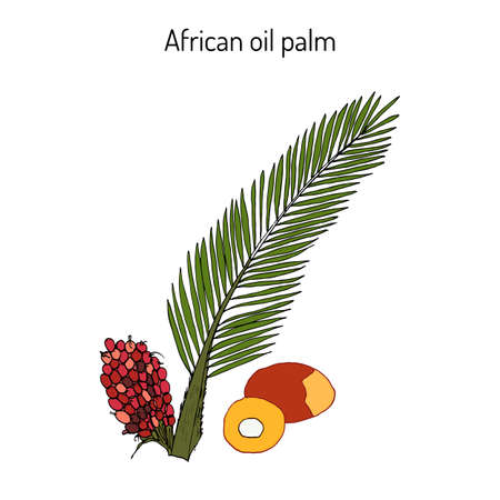 African oil palm Elaeis guineensis , or macaw-fat