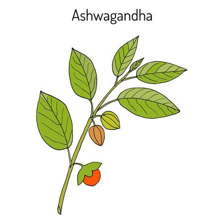 Ayurveda-Kraut Withania somnifera, bekannt als ashwagandha, indischer Ginseng, Gift Stachelbeere oder Winter Kirsche Standard-Bild - 73926134