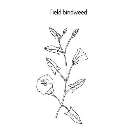 convolvulus: Field Bindweed Convolvulus arvensis .