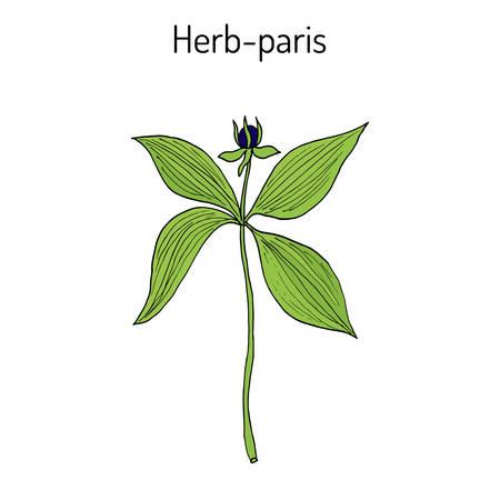 Herb-paris, or true lover s knot Paris quadrifolia , poisonous plant