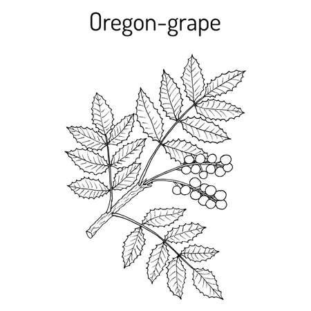 Oregon grape Mahonia aquifolium