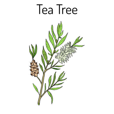 Collection of tea tree. Cosmetics and medical plant. hand drawn