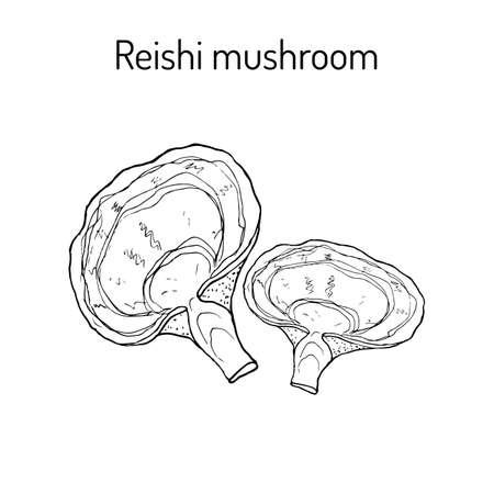 Hongo Reishi Ganoderma lucidum, superalimento, planta medicinal