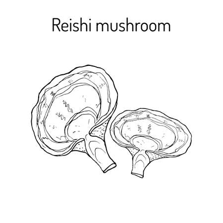 Reishi paddestoel Ganoderma lucidum, superfood, medicinale plant