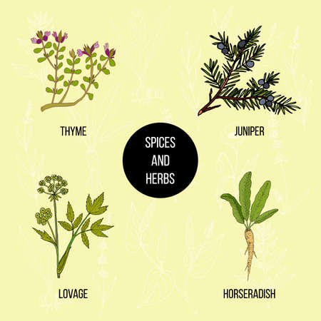 lovage: Hand drawn set of culinary herbs and spices