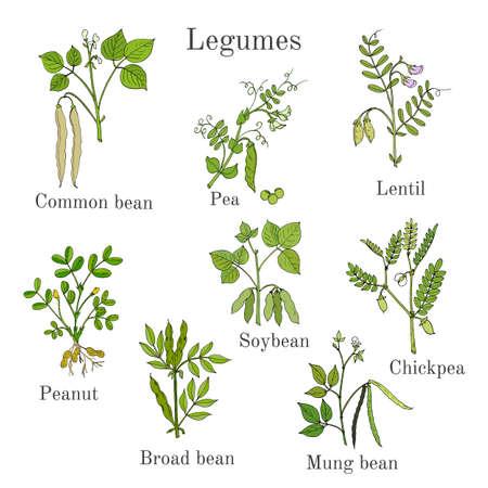 Handgezeichnete Reihe von kulinarischen landwirtschaftlichen Leguminosen Pflanzen Standard-Bild - 74425702